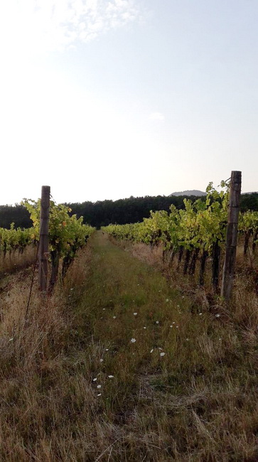 Szőlőterület a mátrai borvidéken. René's Wine Heaven
