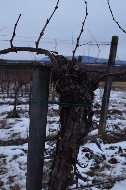 Az eredményig, a sikerig kemény munkát követel a szőlő!