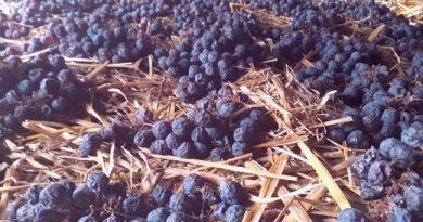 Töppesztett szőlőből készül a szalmabor. GasztroMagazin 2020.