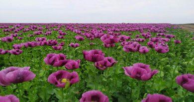 A dunavecsei Zöldi Kertészet titkolt eljárással termesztett mákja. GasztroMagazin 2020.